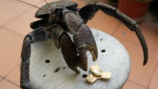 ULTIMATE TEST: FIDGET SPINNER VS COCONUT CRAB