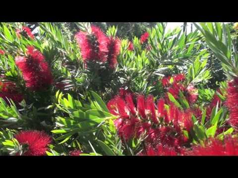 Bees in the Bottlebrush