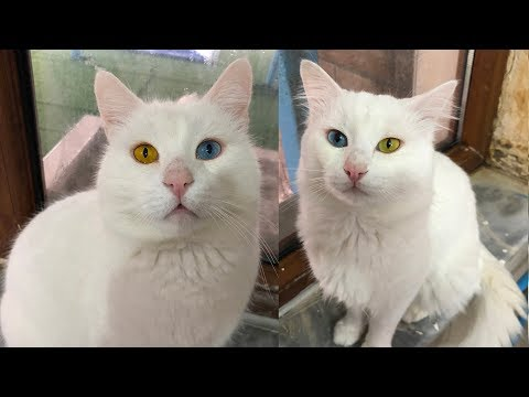 Turkish Van Cat with Colorful Eyes | Visit to Cat House