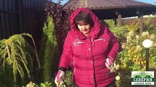 гортензия метельчатая, подготовка к зиме