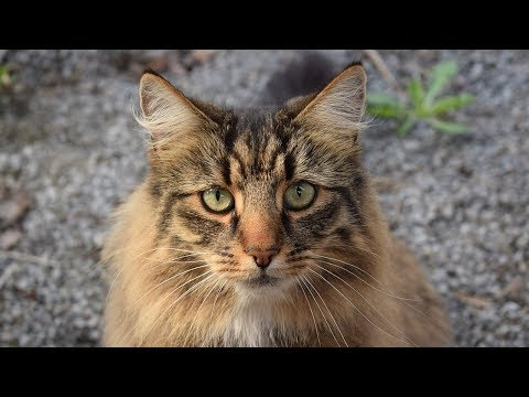 How to Care for Norwegian Forest Cats - Providing Comfort and Veterinary Care