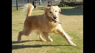 約2ヶ月半の間、血管肉腫と闘った末に7歳で天国へと旅立った愛犬ゴー...
