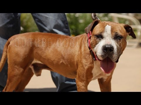 AMERICAN PIT BULL TERRIER EXPERT'S VIEW ON THE TERM