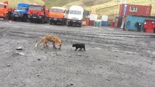 """Копия видео """"Лиса против котика"""""""