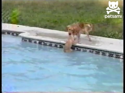 Lifeguard Dog Saves Puppy