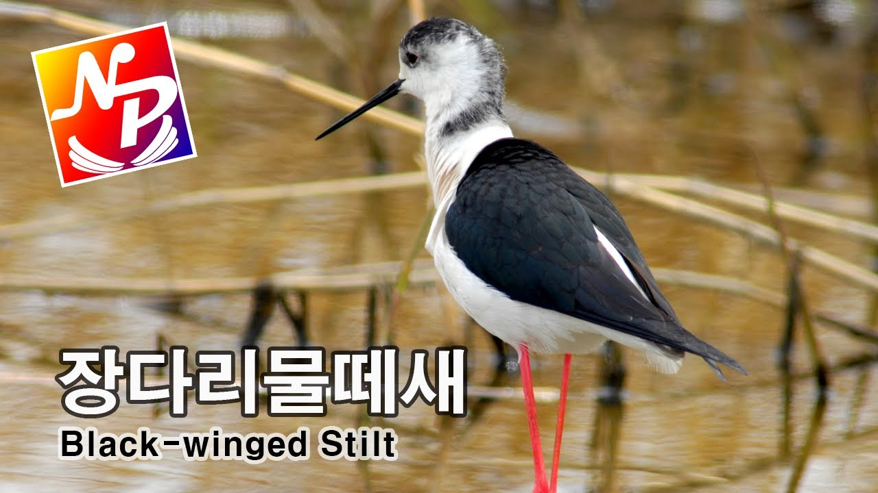 [Nature Short Preview]장다리물떼새 / Black-winged Stilt / 네이쳐프리뷰
