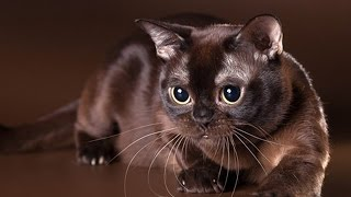 Кошки породы Бурма - очарование Востока