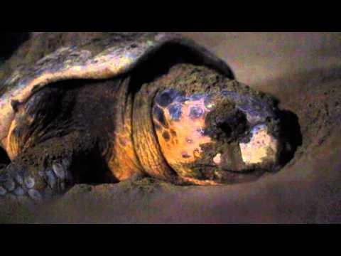 Nesting process of a loggerhead sea turtle