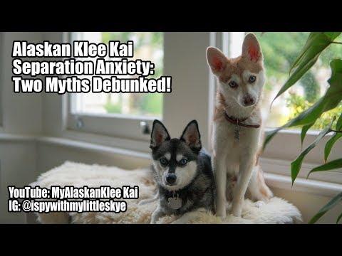 Alaskan Klee Kai: Separation Anxiety myths debunked!