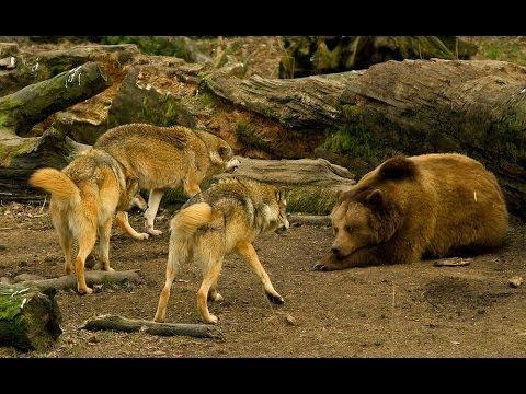 Wildlife BiH  | Medvjed - Vuk  |  Bosnian Brown Bear - Bosnian Grey Wolf