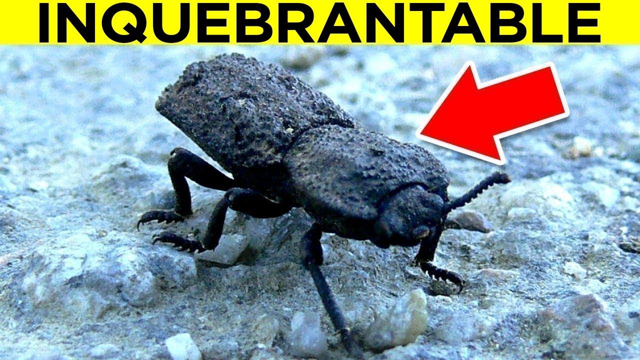 Este Escarabajo Es INQUEBRANTABLE!