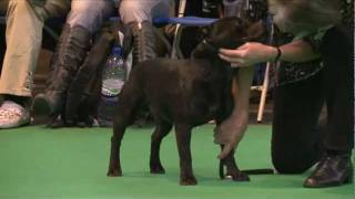 Dfs Crufts 2011  - Best Of Breed Staffordshire Bull Terrier