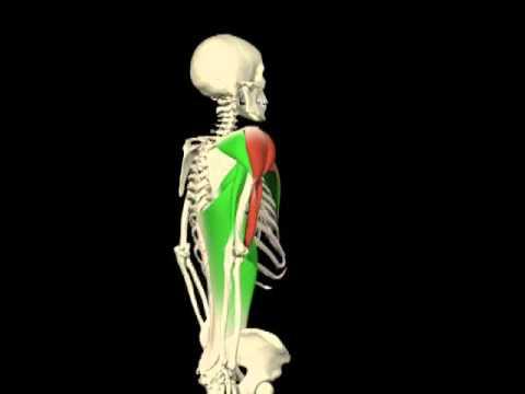 Flexión - extensión hombro. Análisis de movimientos. Agonistas y ...