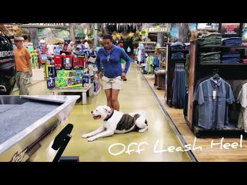 "2-year-old-american-bulldog-""anthony""/-american-bulldog-trainers/best-dog-trainers-orlando"