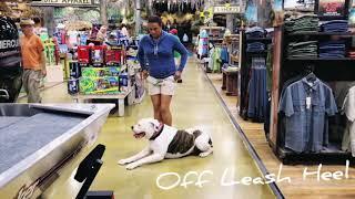 2 year old American Bulldog 'Anthony'/ American Bulldog trainers/best dog trainers orlando
