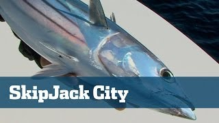 Sick Trolling Skipjack Tuna Action With Three And Four On At A Time