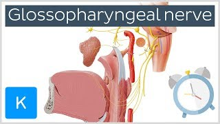 Glossopharyngeal Nerve Overview in 5 minutes - Human Anatomy |Kenhub