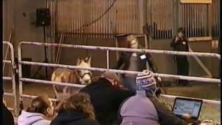 Mini Donkeys At Horse Auction, Meadow Wood Farms, Snohomish, WA - 3/20/2011
