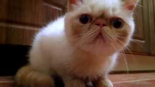 Кот экзот - экзотическая короткошерстная