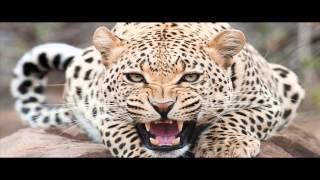 Odgłosy lamparta / pantery / leoparda -- dźwięki zwierząt