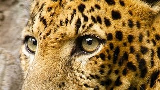 Переднеазиатский леопард на Кавказе