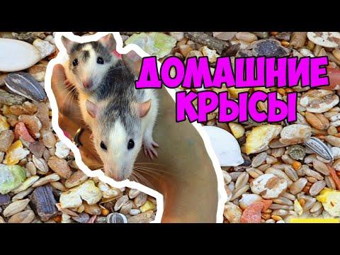 МОИ КРЫСЫ//уход,клетка, корм крыс, как я содержу их