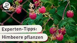 Himbeeren pflanzen: Unsere Experten-Tipps (Anleitung)