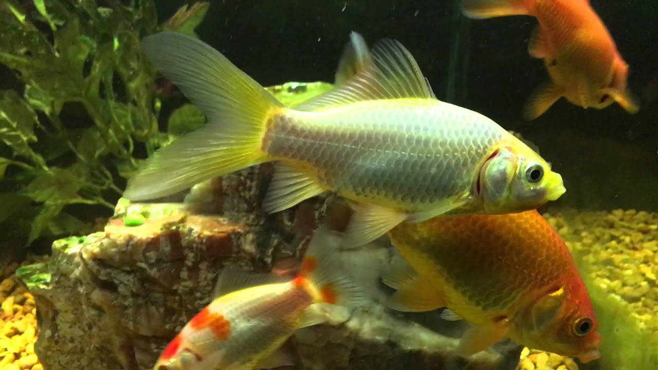 90 Gallon Comet Goldfish (11/15/15) - YouTube