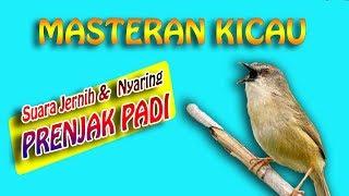 masteran suara burung prenjak padi pari 1 jam jernih