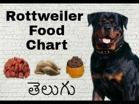 Rottweiler Food Chart and Diet Chart in Telugu | Taju logics