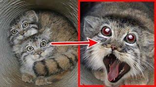 Petani ini terkejut,! anak kucing yg ia temukan, ternyata setelah dewasa bentuknya seperti ini