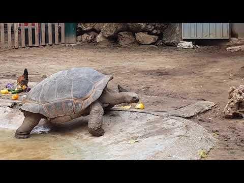 Walking Aldabra tortoise