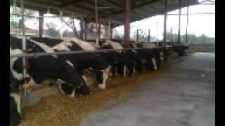 Modern Dairy Shed Design for Pak Dairy Industry 03348433356  Dr Fazal Ellahi Ch