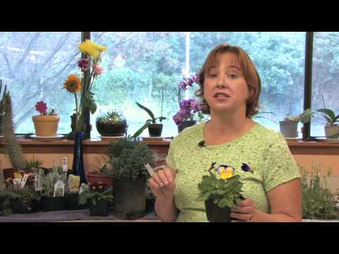 Flower Gardening Tips : How to Grow Pansy/Viola (Viola)