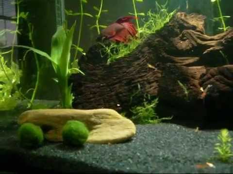 FLUVAL EDGE with a BETTA FISH and SHRIMP [HQ]