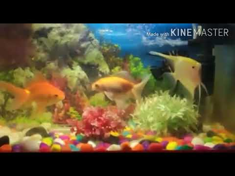 Slow Motion Of My Filter Gold Fish And Angel Fish