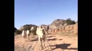 شديد ابل الشيخ فرج بن حراص السليس العتيبي
