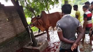 Big Cow Qurbani Bangladesh-2016, Part-8