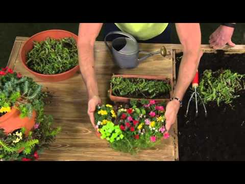 Cottage Farms Colorful Magic Carpet Sedum on QVC
