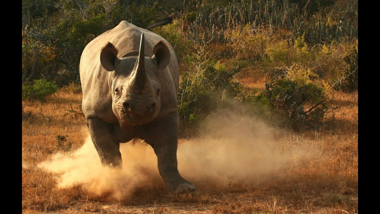 Image result for charging rhino  gif