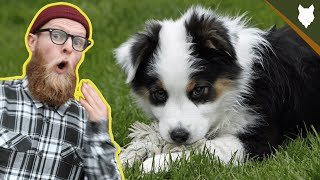 What To Do With A NEW AUSTRALIAN SHEPHERD PUPPY?!