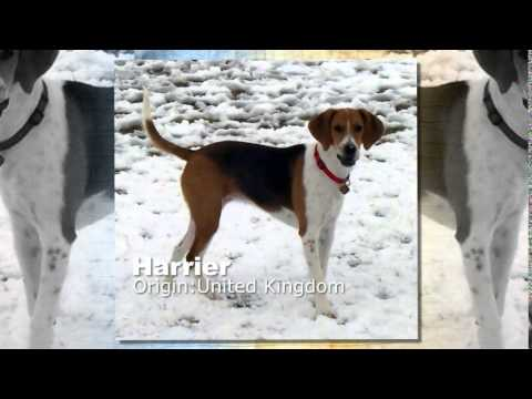 Harrier Dog Breed