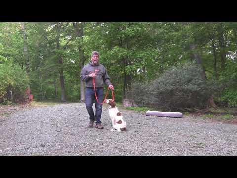 Brittany Spaniel Puppy Training | Winston Salem NC | Beau