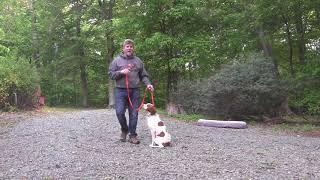 Brittany Spaniel Puppy Training   Winston Salem NC   Beau