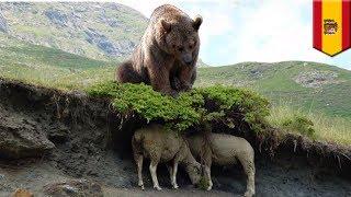 หมีสีน้ำตาลไล่ล่า ฝูงแกะโดดหน้าผาฆ่าตัวตาย