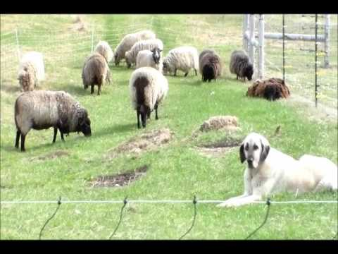 sarah sheep 5 5 17