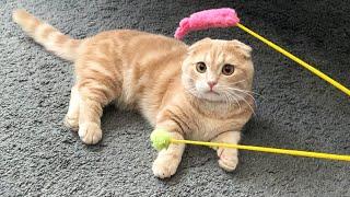 クリクリな目で遊びを要求する短足猫がこちら