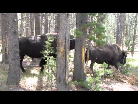 Yellowstone Bison Rut Begins