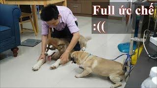 Dạy thằng Alaska Sam ngồi nằm theo lệnh còn khổ hơn dạy Pug Bư :((