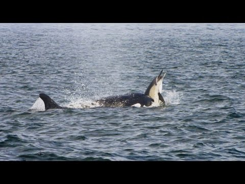 Pod Of Killer Whales Hunt A Dolphin Stampede